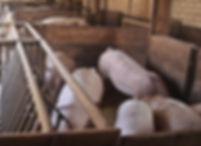 Unsere Schweine werden gehalten wie früher