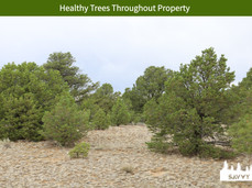 Healthy Trees Throughout Property.jpeg