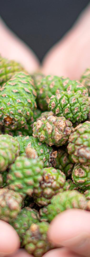 Fresh pine cones