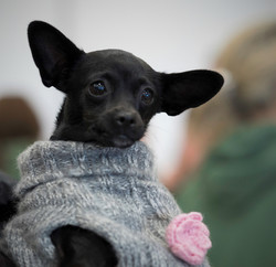 little black dog with ears close up