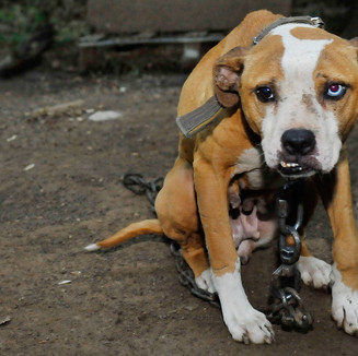 blog-rescue-dogfighting-wv-062515.jpg