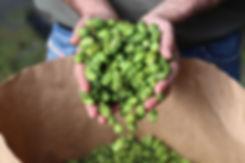 coltivare-luppolo.jpg