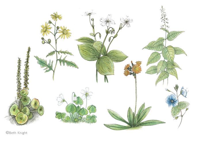 Illustrations plants BethKnight.jpg