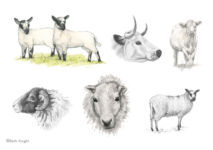 Illustrations Farm animals BethKnight.pn