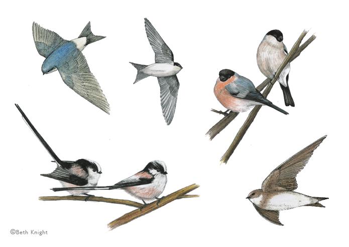 Illustrations Birds2 BethKnight.png