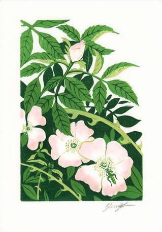 'Wild Rose'