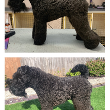 Kerry Blue Terrier Before & After