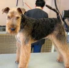 Welsh Terrier Handstrip