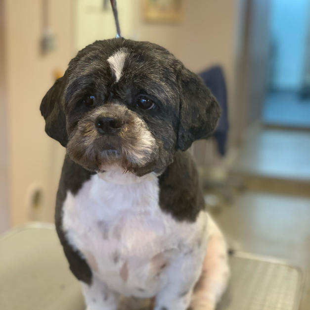 Shihtzu Clipped Off