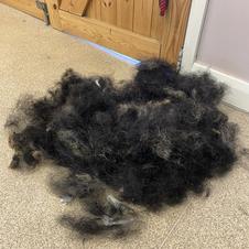 Handstripped hair Welsh Terrier