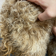 A matted Coat needing to be shaved short