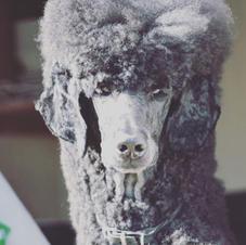 Standard Poodle Clouseau