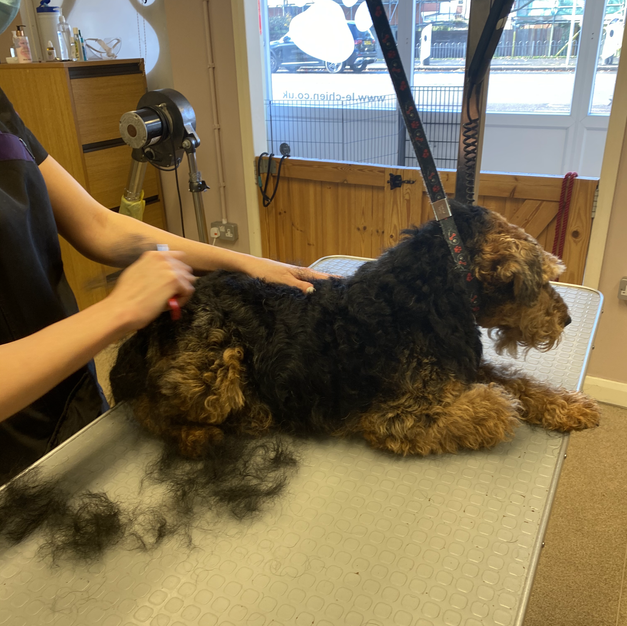 Welsh Terrier During Handstripping
