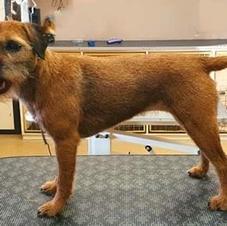 Border Terrier Handstrip After