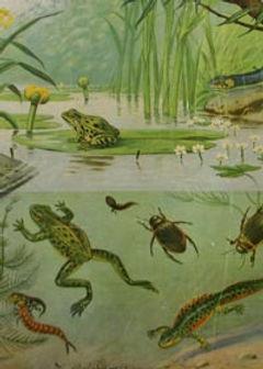 schoolplaat amfibieen.jpg