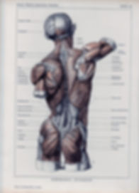 greys-anatomy-muscle-diagram-muscle-char