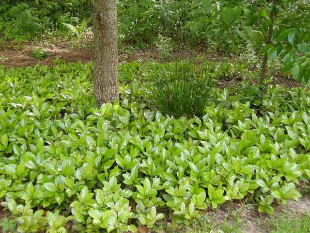 Ardesia ground cover