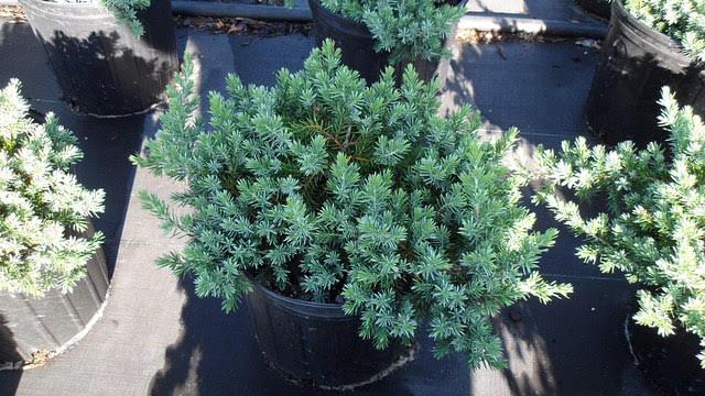 Blue pacific juniper
