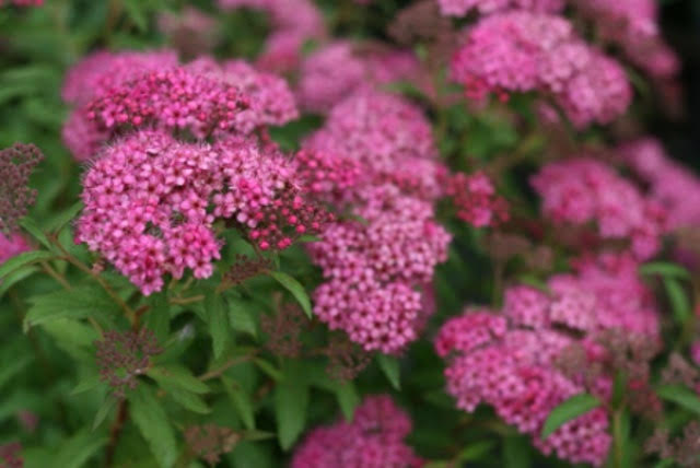Anthony water spirea