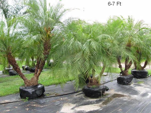 Pigmy palm