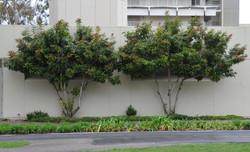 Copper tone loquat bush