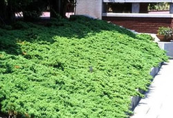 Green mound juniper