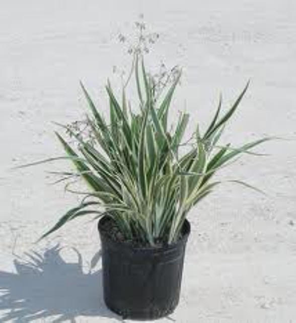 Variegated flax 2