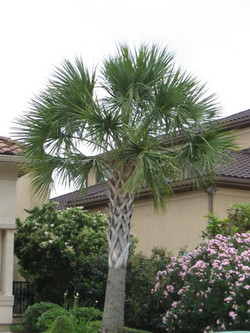 Sabol Palm