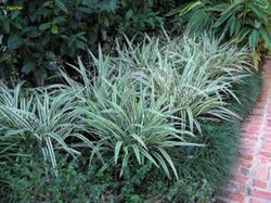 Variegated flax