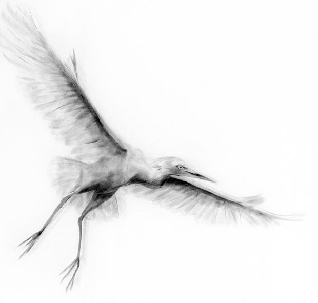Three Cattle Egrets - Detail