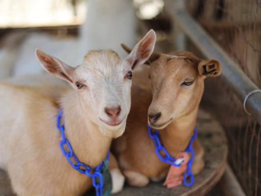 Goats Become Magical Healers At Sugar Sweet Farm