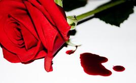 Blødende rose