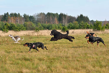 Group of dogs running across the autumn