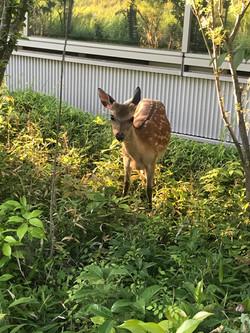 SPring-8で鹿にエンカウントしました。