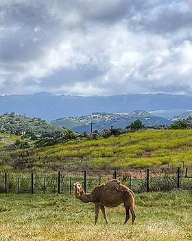Camel Dairy.jpg