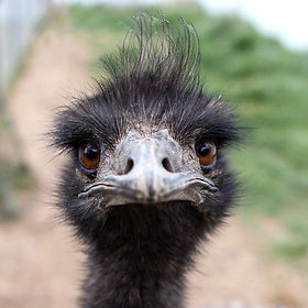What Do You DO Emu.jpeg
