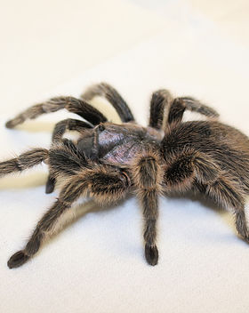 Turantulas and Spiders - Brenna Kleven.J