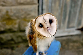 What Big Eyes You Have- Owls