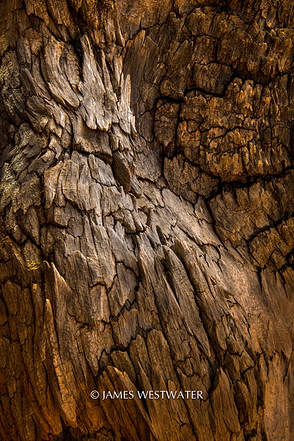 Owl Figure, Bristlecone Bark, The Twisted Forest, Utah