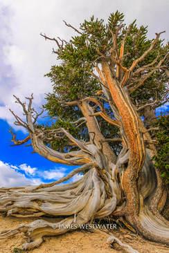 Bristlecone Sisters, Cedar Breaks National Monument, Utah