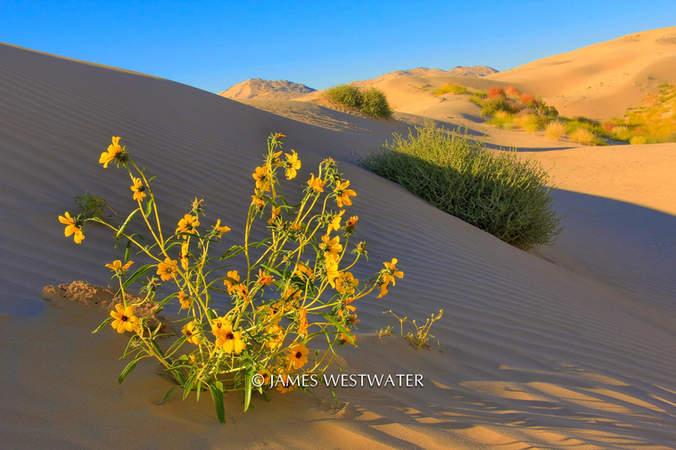 Desert Bouquet, Little Sahara Sand Dunes, Utah