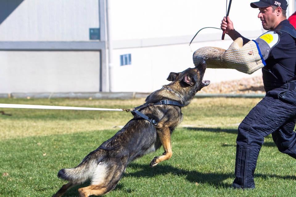Marie Taylor's Nero with helper Shay Lachish during Schutzhund training. Photo by: Gina Eichert
