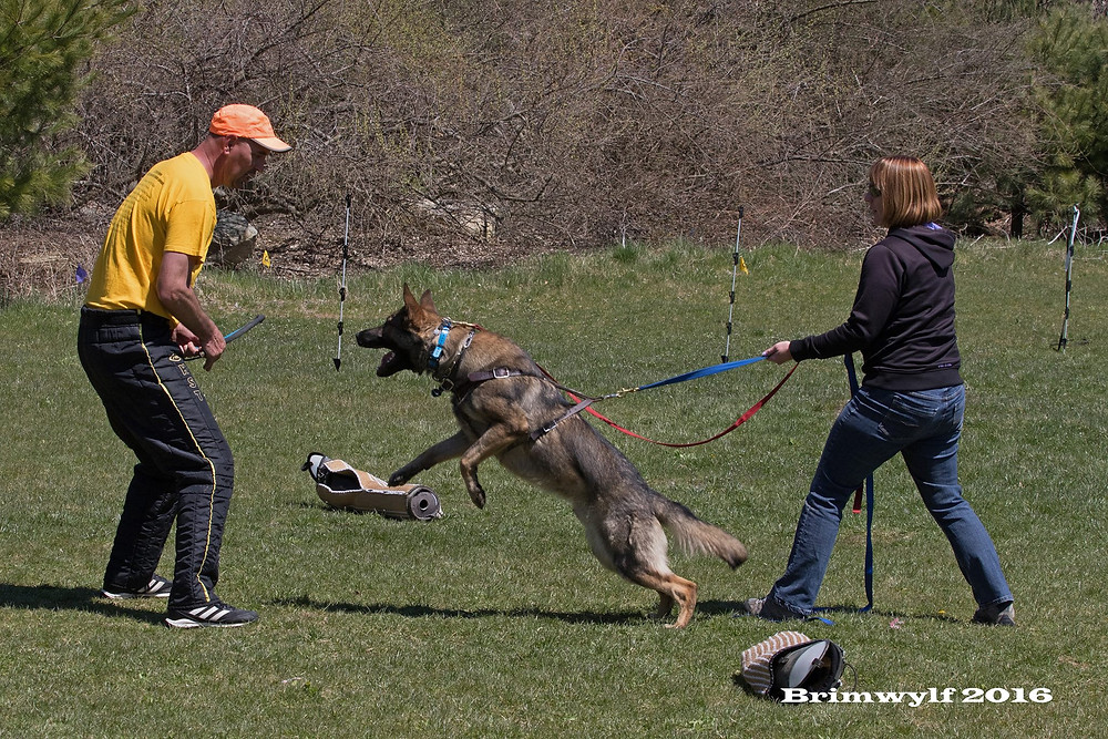"Louise Jollyman demonstrates proper ""posting"" for Seven while he works with helper Don Yelle. Photo: Brimwylf German Shepherds."