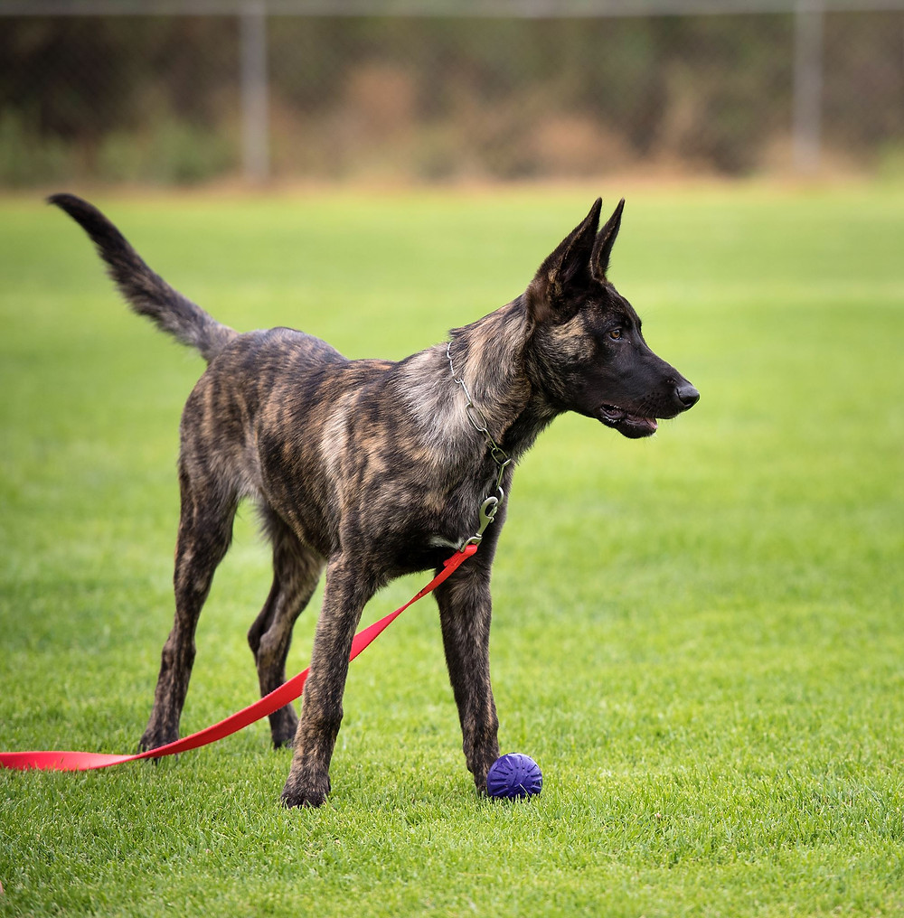 Dutch Shepherd puppy distracted from his work. Photo: Tamandra Michaels.
