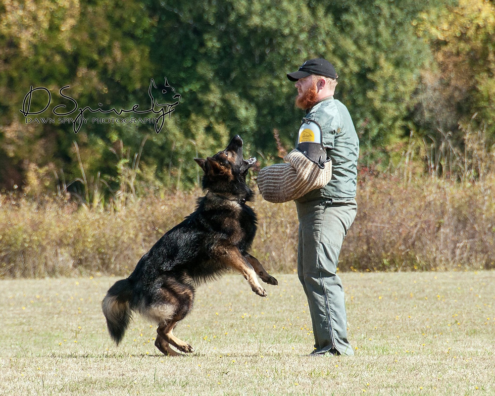 Ones showing off the winning combination of his genetics and training in Schutzhund protection. Photo by Dawn Spivey.