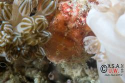 2015-07-19-3319Antennarius pictus