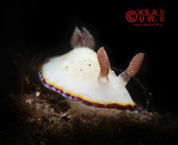 2016_06_26_5890 Goniobranchus preciosus