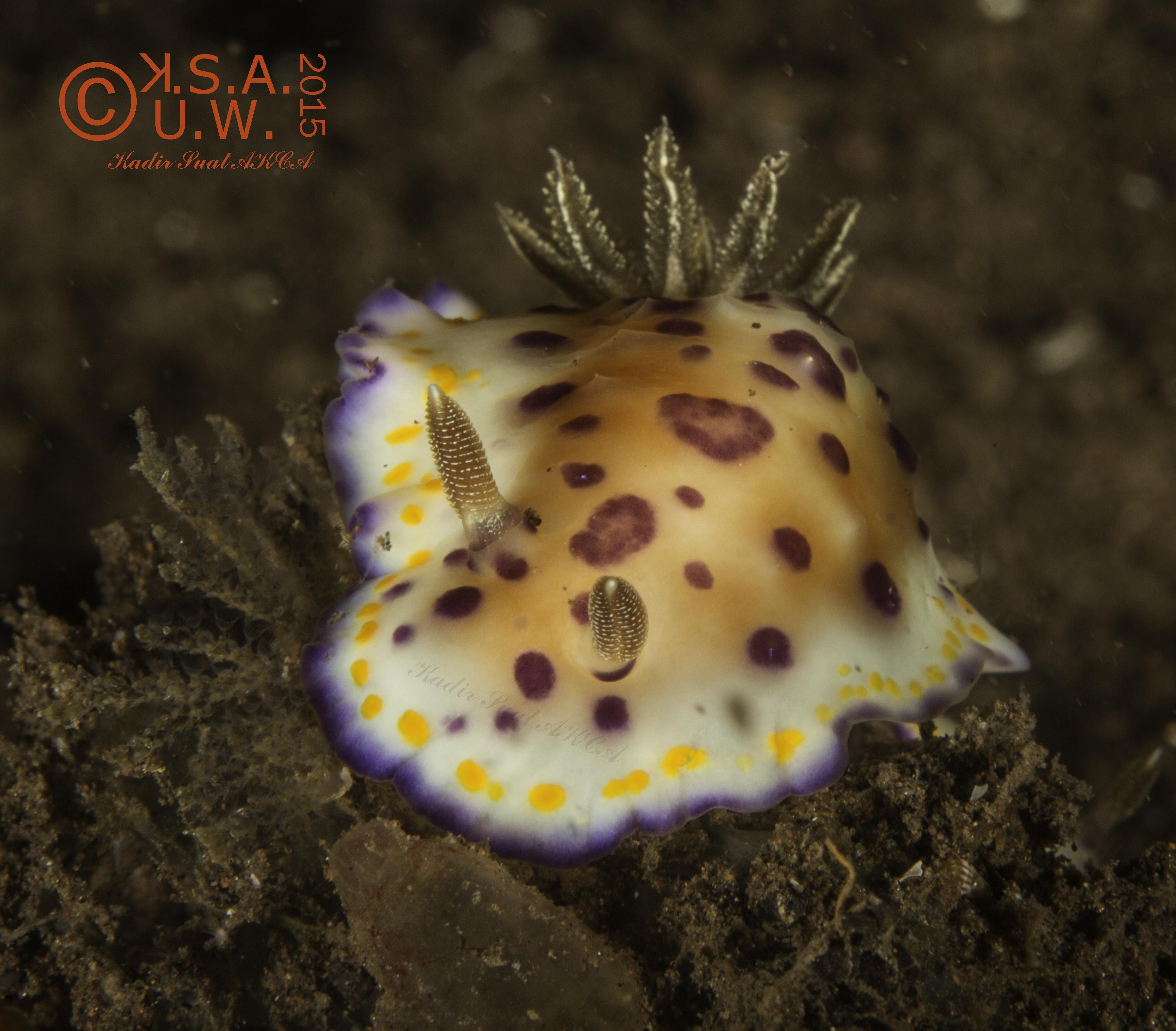 2015-07-25-4878  Goniobrachus sp.