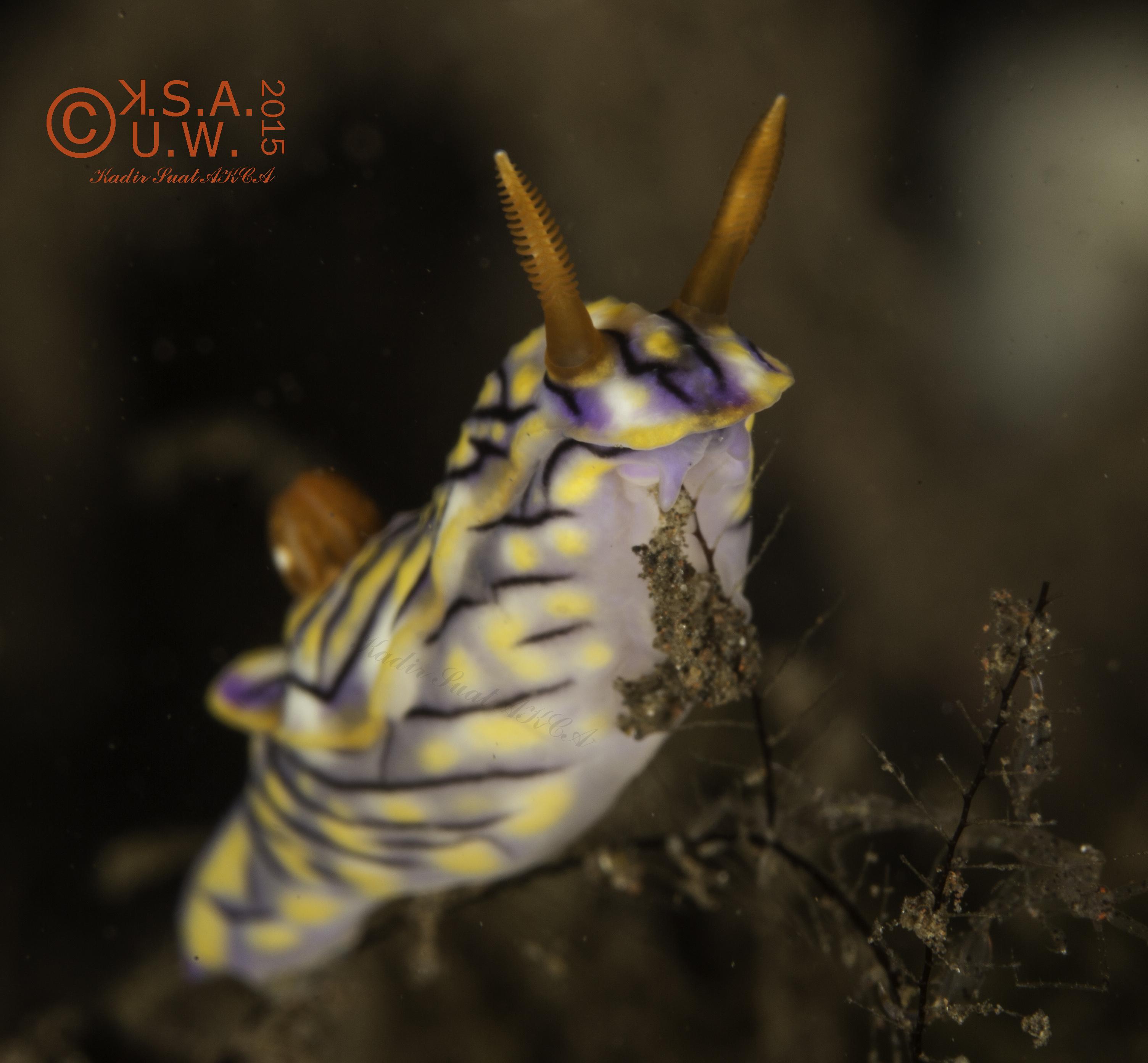 2015-07-25-4892Hypselodoris nigrostriata