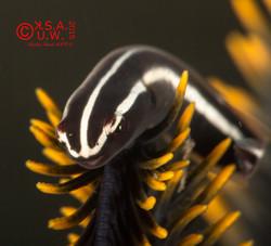 2015-07-25-4754  Discotrema crinophilum (Crinoid Clingfish)